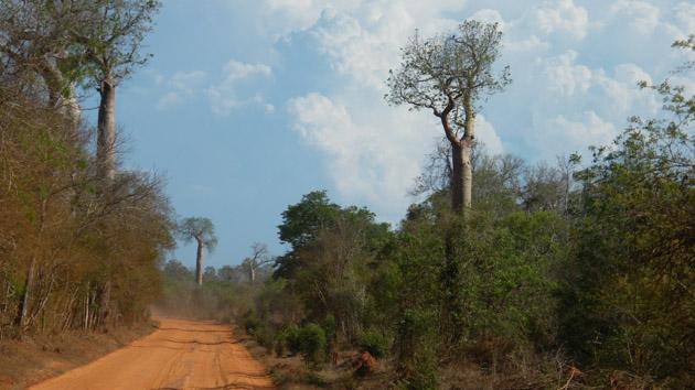 Admirez les baobabs, arbres emblématiques de Madagascar
